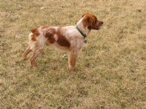 Brittany Spaniel Puppies In Minnesota