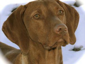 vizsla puppies due late fall 1588 75 miles breed vizsla 463 location ...  Vizsla Oregon