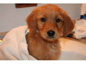 Golden Retriever Puppies In Washington Dc