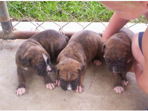 Boxer Puppies In Ohio