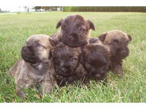 Cairn Terrier Puppies in Washington DC