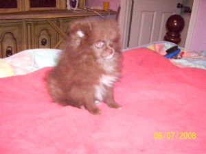 Pomeranian Puppies In Tennessee