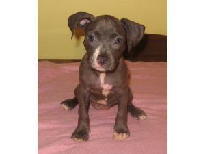 American Pit Bull Terrier Puppies in New York