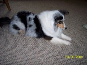 shelties for sale in michigan
