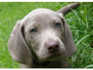 Weimaraner Puppies In Massachusetts