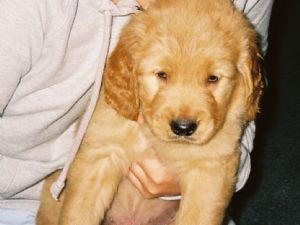 Golden retriever puppies for sale in georgia cheap