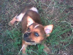 Red Heeler Corgi Mix Puppy Breed: australian cattle dog