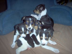 Rat Terrier Puppies In Oregon
