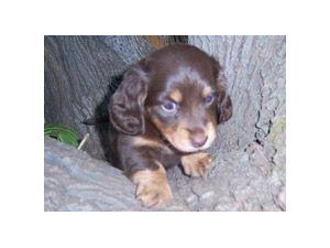 Dachshund Puppies In Arizona