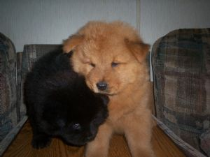 Chow Chow Puppies in Georgia