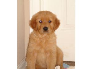 Golden retriever adoption fresno
