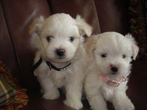 Maltese Puppies in Georgia