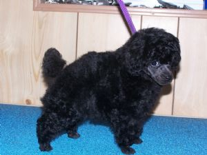 Toy Poodle Puppies In Washington Dc