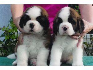 Saint Bernard Puppies in California
