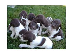 German Shorthaired Pointer Puppies In Ohio