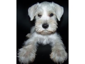 Miniature Schnauzer Puppies For Sale