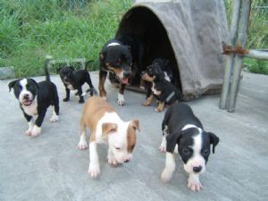 Blue Staffy For Sale : Staffordshire bull terrier puppies for sale