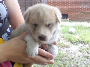 Siberian Husky Puppies In Tennessee