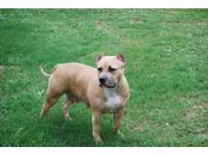 American Pit Bull Terrier Puppies in Alabama