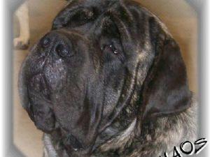 Mastiff Puppies For Sale In Panama City Fl