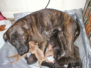 American Pit Bull Terrier Puppies in North Carolina