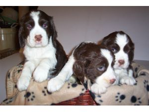 english springer spaniel adoption