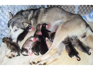 Alaskan Malamute Puppies In California
