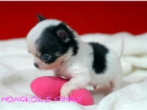Long haired teacup chihuahua puppies for sale 369.09 miles