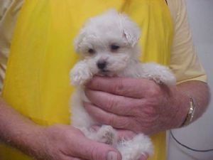 Maltese Puppies in Tennessee