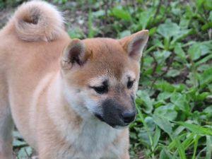 Shiba Inu Puppies in Michigan