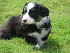Border Collie Puppies In New Mexico