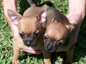 Chihuahua Puppies in Florida