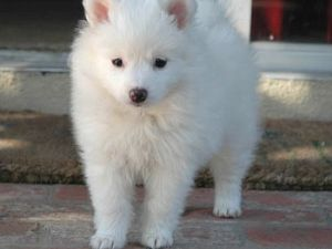 American Eskimo Mix Puppy Images & Pictures - Becuo