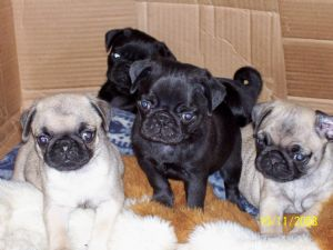 cheap pug puppies for sale pug puppies for sale 169