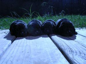 Lab Puppies For Sale In Virginia Beach Va