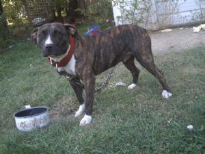 American Pit Bull Terrier Puppies in Wisconsin