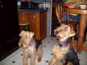 Airedale Terrier Puppies in Louisiana