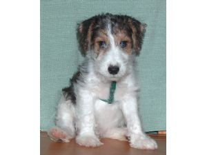 Fox Terrier (Wire) puppies for sale