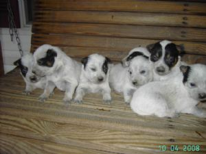 Blue Heelers For Sale : Australian cattle dog puppies for sale