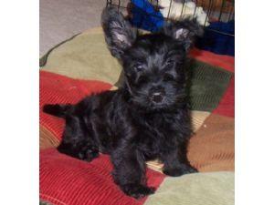 Scottish Terrier Puppies In Ohio