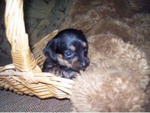 Dachshund puppies for adoption in orlando