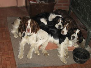English Springer Spaniel Puppies in Indiana