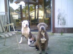 American Pit Bull Terrier Puppies in Florida