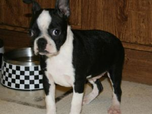 Boston terrier puppies washington dc