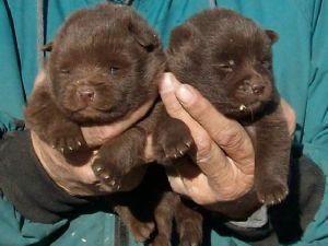 Schipperke Puppies For Sale