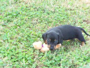 Dachshund Puppies in Florida