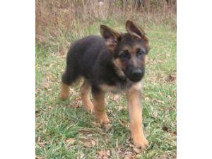 German shepherd puppies nebraska