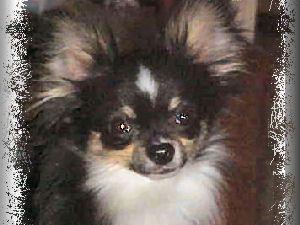Chihuahua Puppies In Kentucky