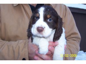 English Springer Spaniel Puppies in Wisconsin