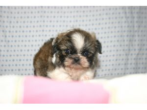Shih Tzu Puppies In Tennessee